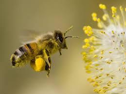 สารสกัด พิษผึ้ง100g