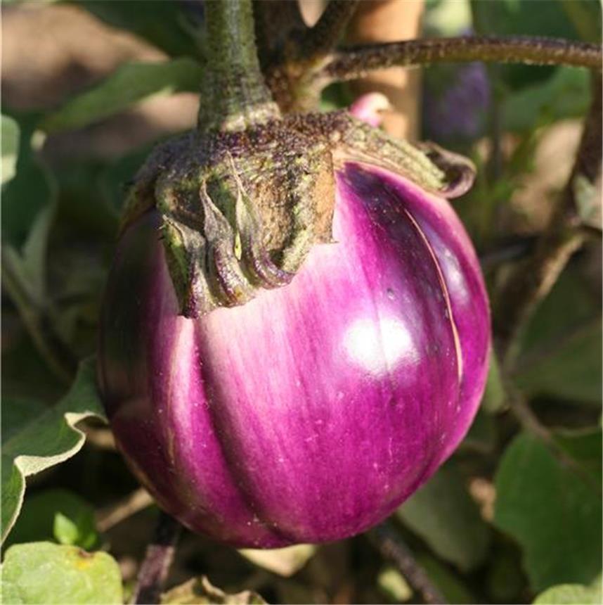Pink Italian Eggplant (มะเขืออิตาเลี่ยนม่วง)