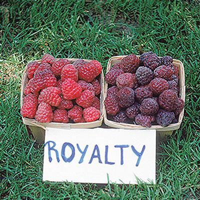 Royalty Raspberry (โรยอล ราสเบอรี่)