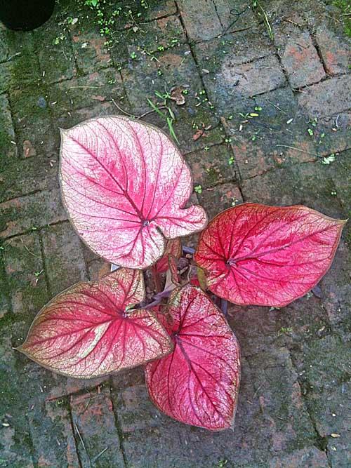 ต้นบอนสี ทองแดง ขนาดกระถาง6นิ้ว
