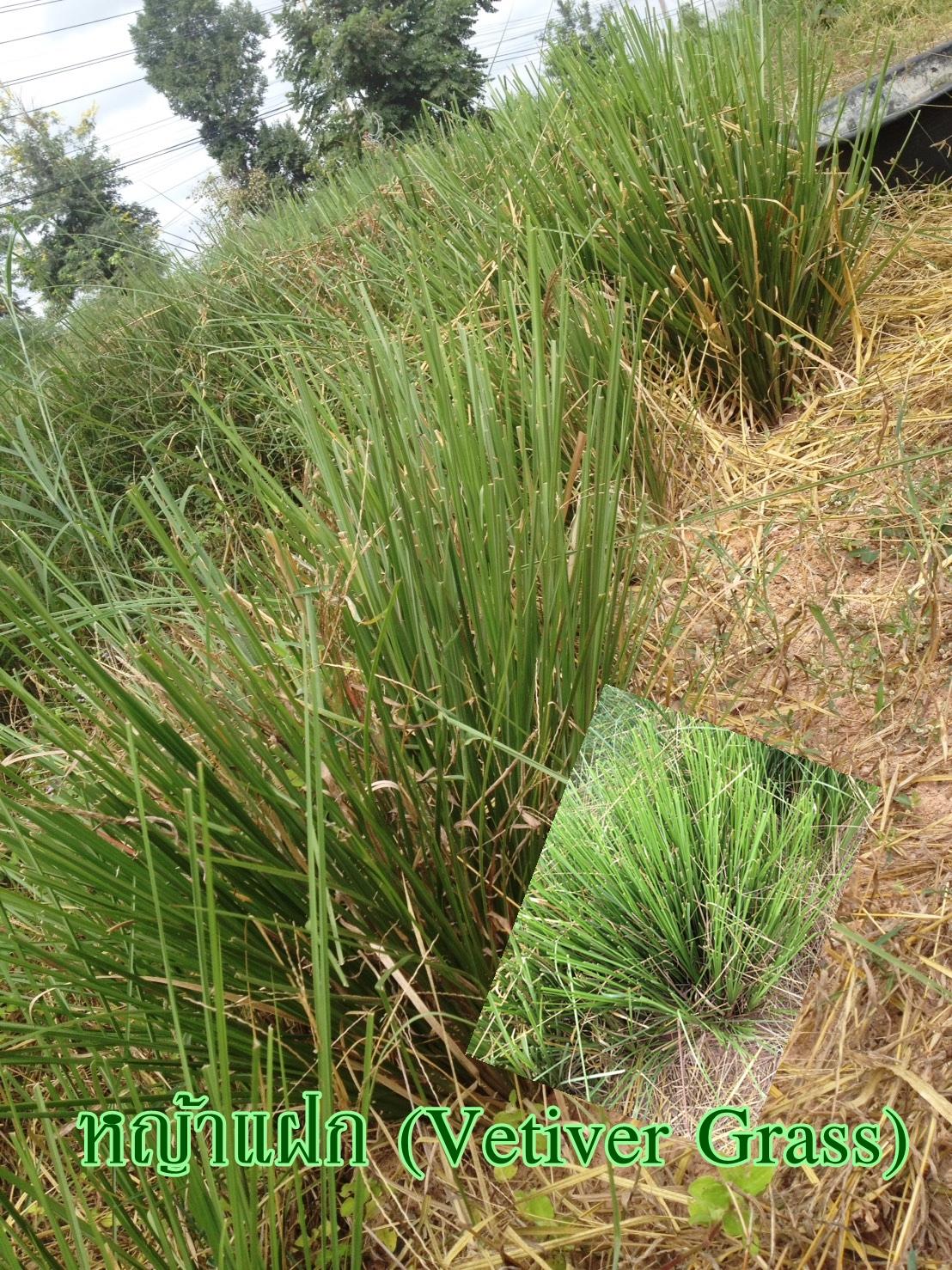 หญ้าแฝก (Vetiver Grass)