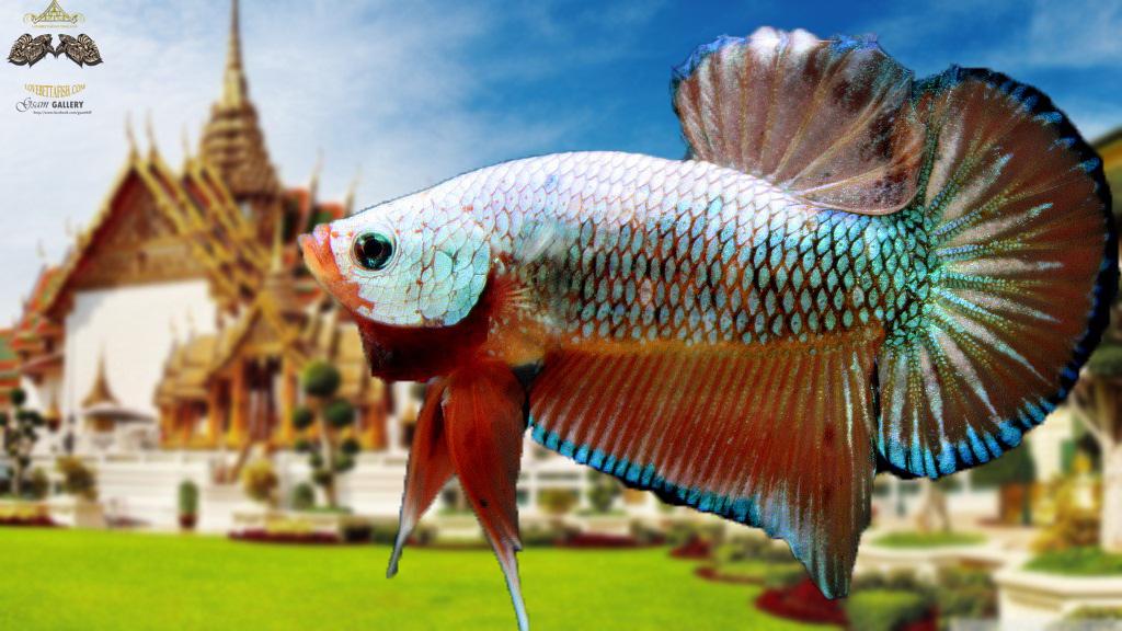 """ตอนรับปีใหม่""""คัดเกรด""""ปลากัดครีบสั้น-Halfmoon Plakats Fancy Dragon Orange"""