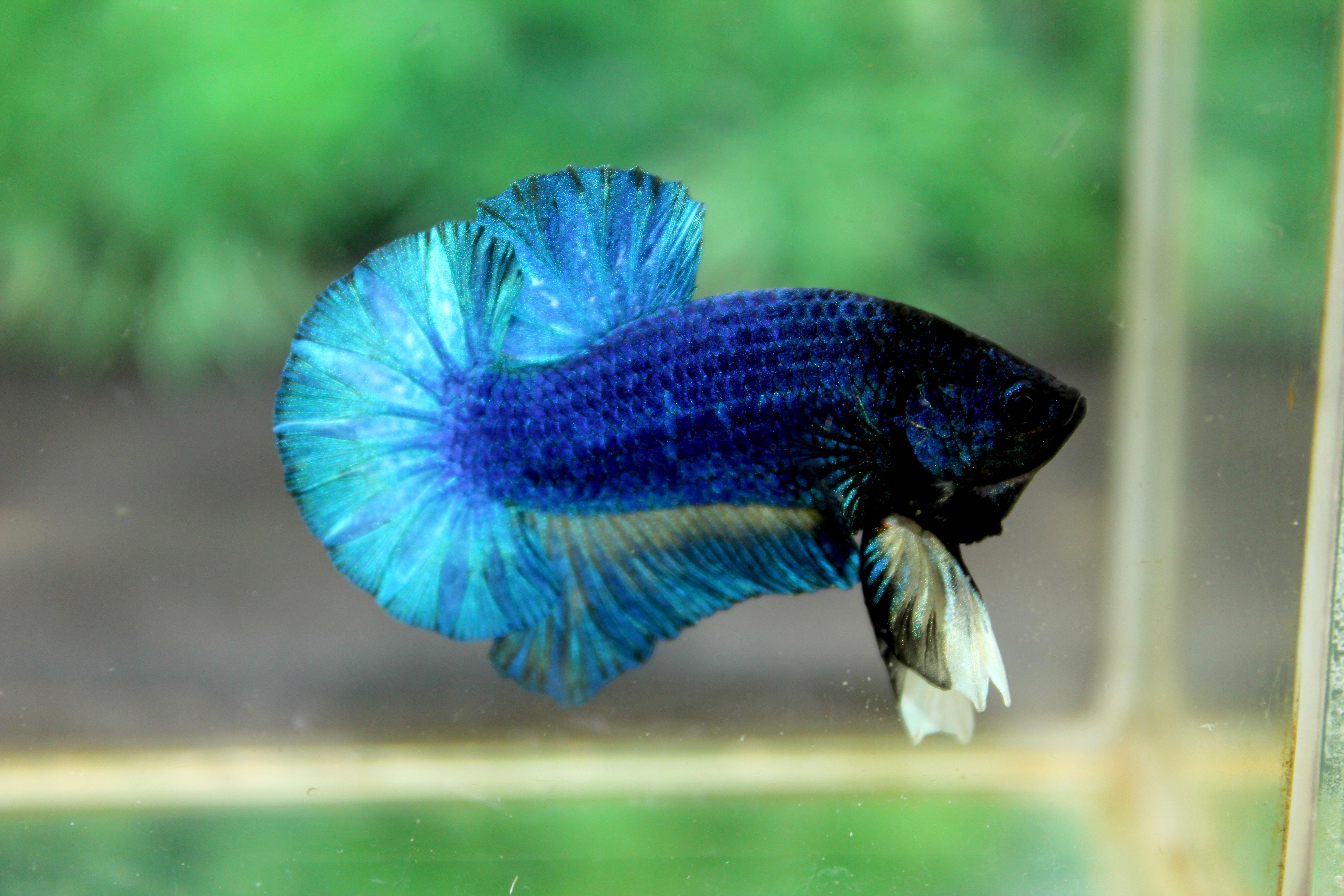 คัดเกรดปลากัดครีบสั้น-Halfmoon Plakad Premuim Quality Grade Fancy Blue Green Mustrad Over Tails Grade AAA+ (ฟอร์มมาตรฐาน)