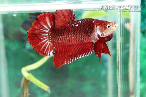 (ขายแล้วครับ)ปลากัดครีปสั้น - Fancy Halfmoon Plakats