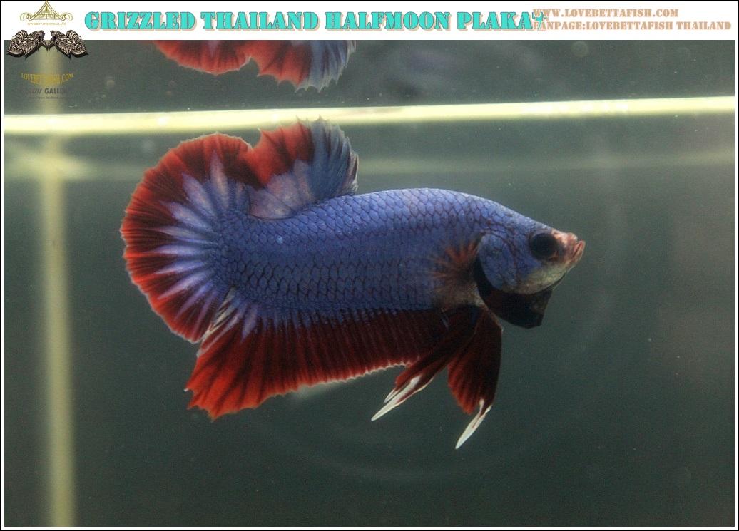 """(ขายแล้วครับ)""""คัดเกรด""""ปลากัดครีบสั้น-Halfmoon Plakats Grizzled Thailand"""