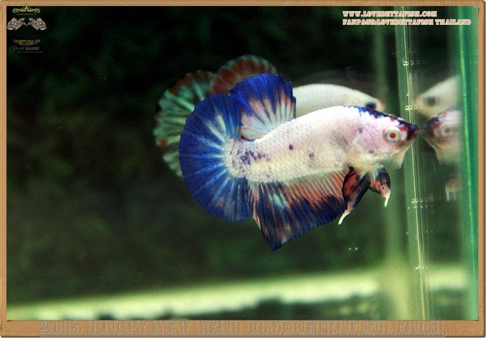 คัดเกรดปลากัดครีบสั้น-Halfmoon Plakat Fancy Blue Dragon and Marble