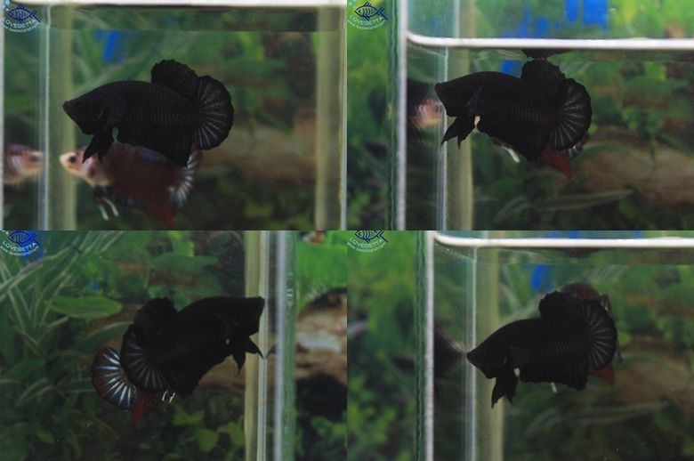 """ตอนรับเทศกาล สงกรานต์ """"คัดเกรด""""ปลากัดครีบสั้น-Halfmoon Plakats Super Black"""