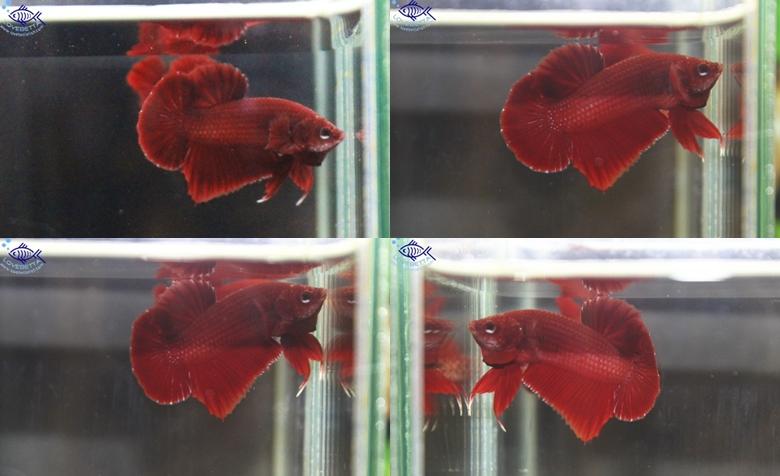 ปลากัดครีบสั้น-Halfmoon Plakats Super Red2