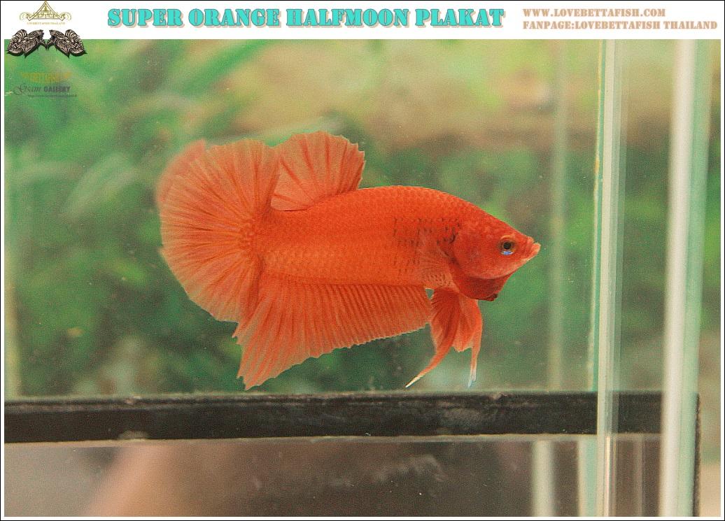 """(ขายแล้วครับ)""""คัดเกรด""""ปลากัดครีบสั้น-Halfmoon Plakats Super Orange Grade A"""