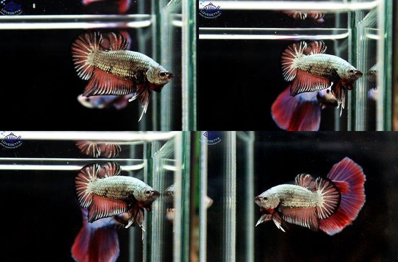 (ขายแล้วครับ)ตอนรับเทศกาล สงกรานต์ ปลากัดครีบสั้น - Brown Dragon Halfmoon Plakats