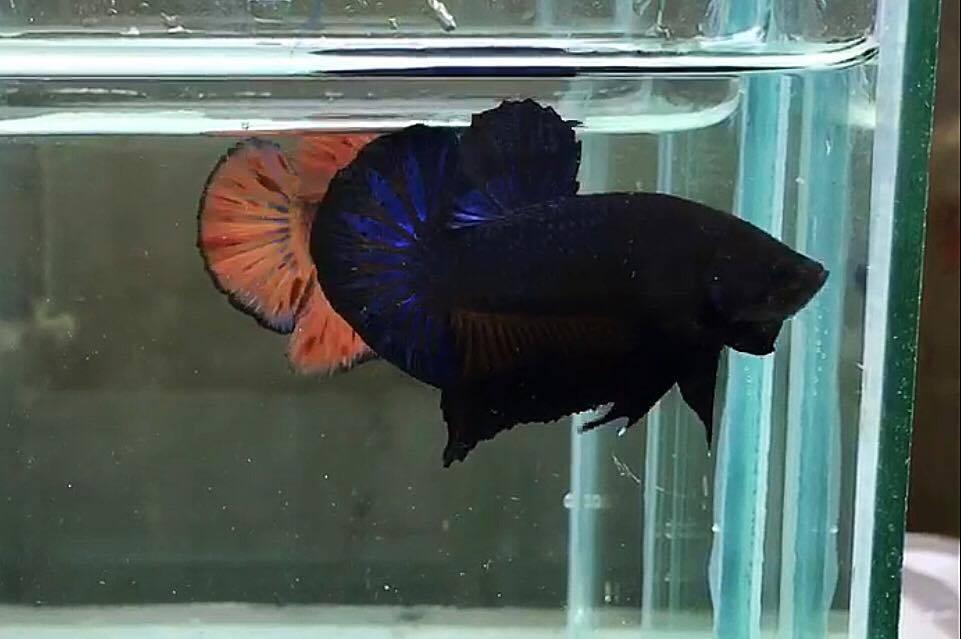 ปลากัดคัดเกรดครีบสั้น - Halfmoon Plakad Blue Black Quality Grade