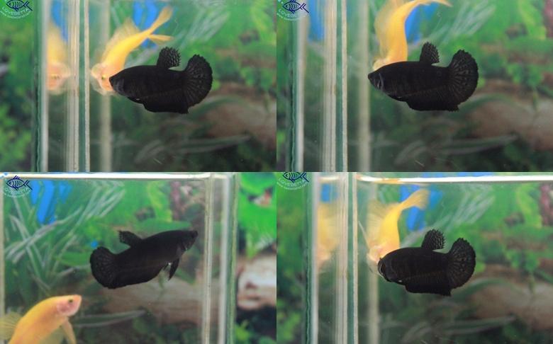 """(ขายแล้วครับ)""""คัดเกรด""""ปลากัดครีบสั้นตัวเมีย-Halfmoon Plakats Super Black"""