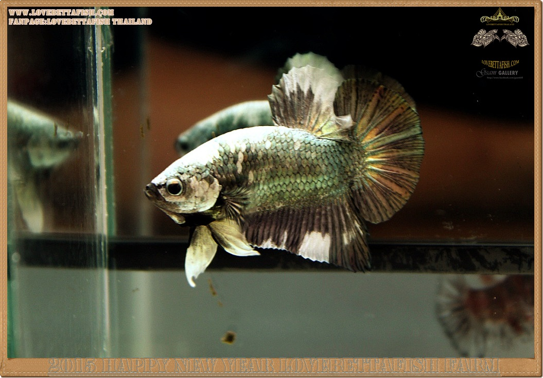(ขายแล้วครับ)+ส่งท้ายปีเก่าตอนรับปีใหม่+ปลากัดครีบสั้น-Halfmoon Plakat Fancy Copper