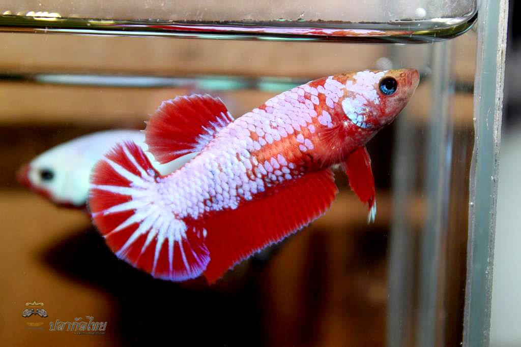 ปลากัดคัดเกรดครีบสั้นตัวเมีย - Halfmoon Plakad Fancy Dragon Premium Quality Grade