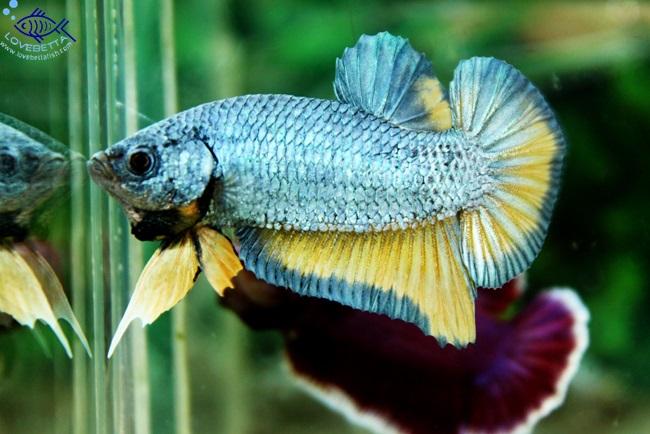 (ขายแล้วครับ)ปลากัดครีบสั้น - Halfmoon Plakats Fancy2