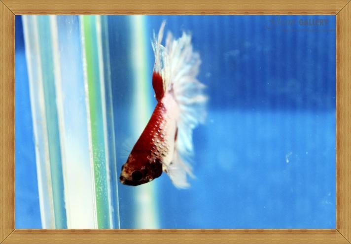 ปลากัดครีบยาว - Fancy Halfmoon033