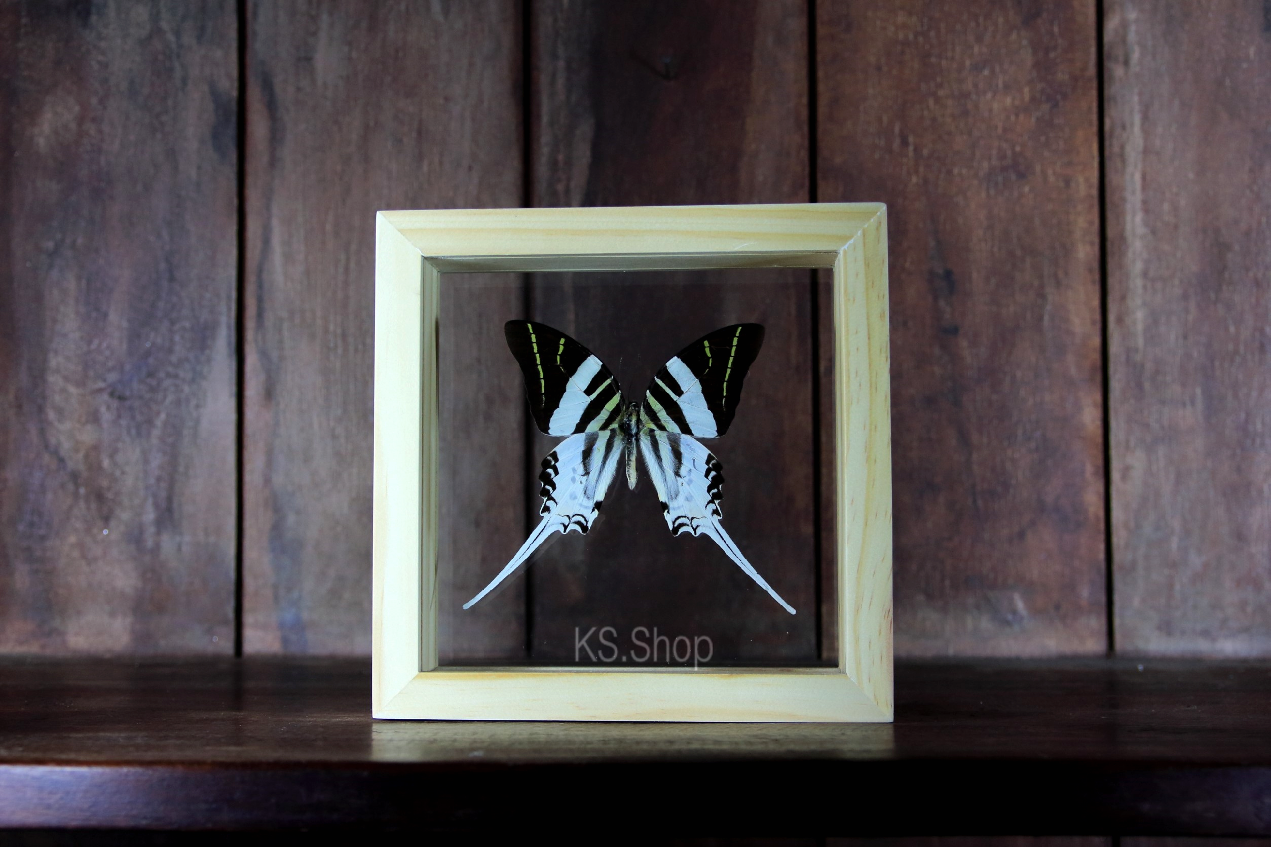 GRAPHIUM ANDROCLES INSECT BUTTERFLY PICTURE FRAME TAXIDERMY GIANT SWORDTAIL